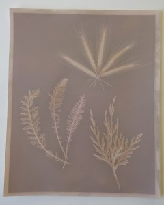 A simple lumen plrint made with planet cuttings. The image is fairly low contrast and mostly shows an outline of the plants.