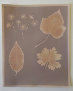 A Lumen print exhibiting varying colour tones. The image is dark purple where the paper was fully exposed, pale pink where fully obscured from light, and a yellow/brown where moisture from the leaves affected the paper